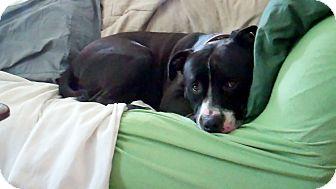 American Staffordshire Terrier/Labrador Retriever Mix Dog for adoption in Madison, Wisconsin - Sammy