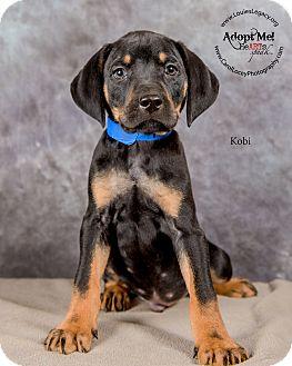 Bloodhound/Black and Tan Coonhound Mix Puppy for adoption in Cincinnati, Ohio - Kobi