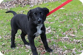 Labrador Retriever Mix Puppy for adoption in Conway, Arkansas - Liza