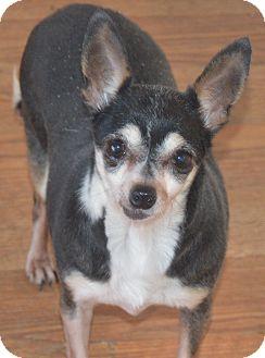 Chihuahua Dog for adoption in Prole, Iowa - Cora