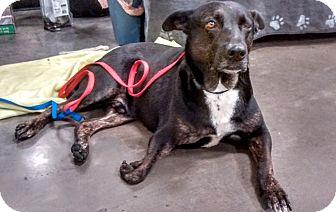 Shepherd (Unknown Type) Mix Dog for adoption in Mesa, Arizona - Tux