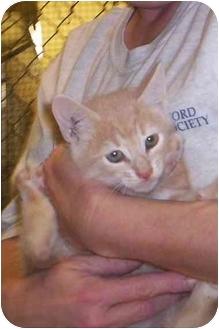 Domestic Mediumhair Kitten for adoption in Raeford, North Carolina - killian