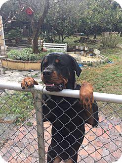 Rottweiler Dog for adoption in New Smyrna Beach, Florida - Bailey