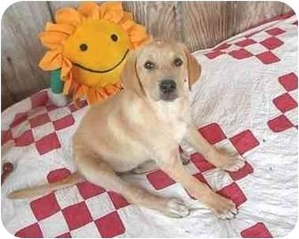 Labrador Retriever/Golden Retriever Mix Puppy for adoption in McArthur, Ohio - Brie
