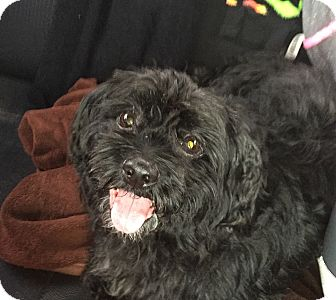 Shih Tzu/Poodle (Toy or Tea Cup) Mix Dog for adoption in Pompano Beach, Florida - Steven
