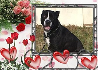 Boston Terrier Mix Dog for adoption in Tipp City, Ohio - Rocco