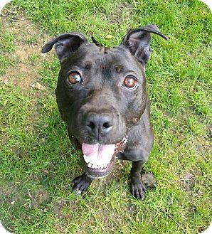 Pit Bull Terrier Mix Dog for adoption in Sharon Center, Ohio - Bettie Davis