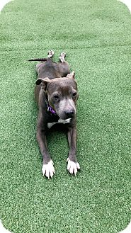 American Staffordshire Terrier Mix Dog for adoption in Sharon, Connecticut - Geena