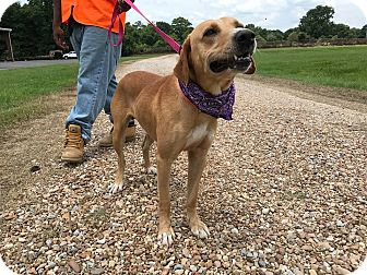 Labrador Retriever/Golden Retriever Mix Dog for adoption in St. Francisville, Louisiana - Jackson