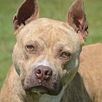 Adopt A Pet :: Travleler - Bastrop, TX