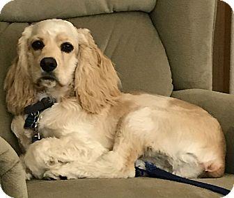 Cocker Spaniel Puppy for adoption in Sugarland, Texas - Jesse James