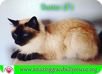 Siamese Cat for adoption in Pensacola, Florida - Sumo