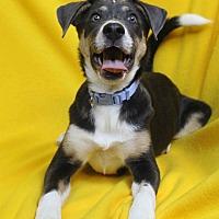 Adopt A Pet :: Lianna - Westminster, CO