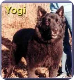 Newfoundland/Belgian Shepherd Mix Dog for adoption in Aldie, Virginia - Yogi Bear