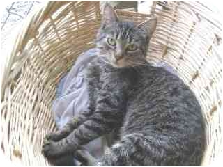 Domestic Shorthair Cat for adoption in Libby, Montana - Tootsie