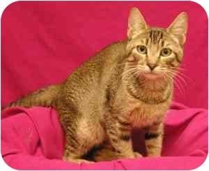 Abyssinian Cat for adoption in Sacramento, California - Squirrel