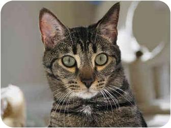 Domestic Shorthair Cat for adoption in Monroe, Georgia - Nubbs