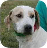 Hound (Unknown Type)/Labrador Retriever Mix Dog for adoption in Foster, Rhode Island - Titan
