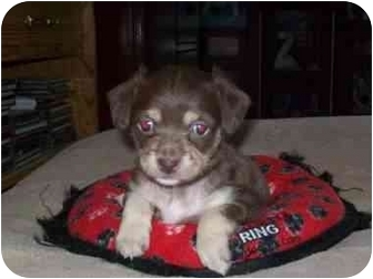 Cairn Terrier/Terrier (Unknown Type, Small) Mix Puppy for adoption in McArthur, Ohio - SADIE
