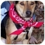 Photo 2 - Beagle/Shepherd (Unknown Type) Mix Dog for adoption in Olive Branch, Mississippi - Riley