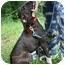 Photo 2 - Italian Greyhound/Labrador Retriever Mix Dog for adoption in kennebunkport, Maine - Lilah - Pending!