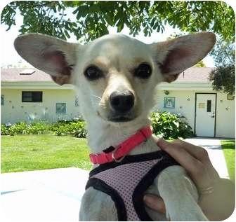 Chihuahua Dog for adoption in San Clemente, California - MARIA