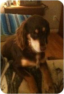 English Springer Spaniel Dog for adoption in Cranford, New Jersey - Harley