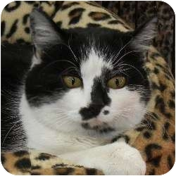 American Shorthair Cat for adoption in Des Moines, Iowa - Sophie