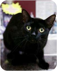 Domestic Shorthair Cat for adoption in Chicago, Illinois - Johnny Cash