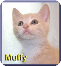 Domestic Shorthair Kitten for adoption in Aldie, Virginia - Muffy