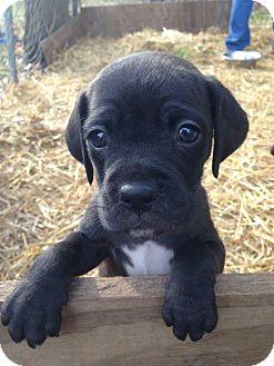 Labrador Retriever/Boxer Mix Puppy for adoption in Cranford, New Jersey - LOLLI