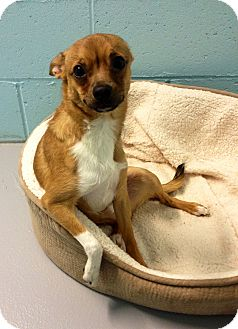 Terrier (Unknown Type, Small)/Chihuahua Mix Dog for adoption in Muskegon, Michigan - Flynn