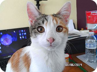 Calico Cat for adoption in Lombard, Illinois - Missy