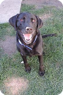 Labrador Retriever Mix Dog for adoption in Brookings, South Dakota - Murphy
