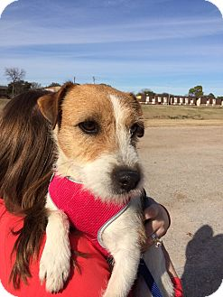 Jack Russell Terrier Dog for adoption in Dallas/Ft. Worth, Texas - Noel in Longview