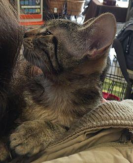 Domestic Shorthair Cat for adoption in Sacramento, California - Kayla