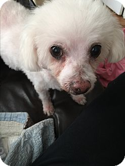 Poodle (Miniature)/Bichon Frise Mix Dog for adoption in New York, New York - Casey