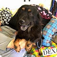 Adopt A Pet :: Dex - Acton, CA