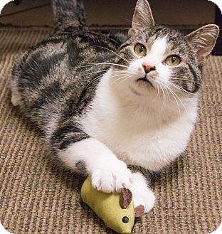 Domestic Shorthair Cat for adoption in Chicago, Illinois - Jackson Galaxy