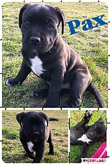 American Staffordshire Terrier Mix Puppy for adoption in Jacksonville, North Carolina - Pax