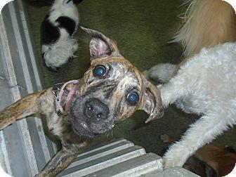 Basset Hound/Plott Hound Mix Puppy for adoption in Jersey City, New Jersey - Carmela Soprano