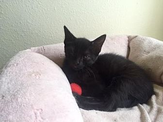 Domestic Shorthair Kitten for adoption in Bulverde, Texas - Pookie 2