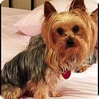 Adopt A Pet :: SADIE SUE - ADOPTION PENDING - Seymour, MO