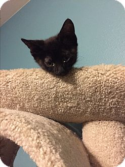Domestic Shorthair Cat for adoption in Weatherford, Texas - Onyx