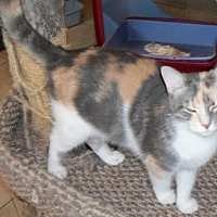 Calico Cat for adoption in Lacon, Illinois - Linkel