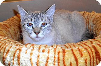 Siamese Cat for adoption in Chattanooga, Tennessee - Lacey