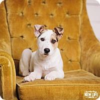 Adopt A Pet :: Bulgur - Portland, OR