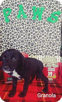 Beagle/Jack Russell Terrier Mix Puppy for adoption in Forest Hill, Maryland - Granola