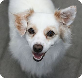 Papillon Mix Dog for adoption in Canoga Park, California - Chilly