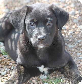 Australian Shepherd/Labrador Retriever Mix Puppy for adoption in Hooksett, New Hampshire - Ciara